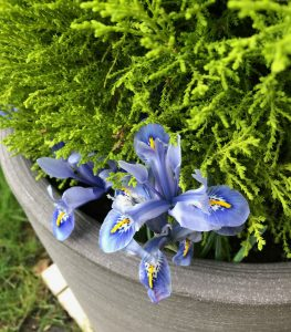 Blue iris growing in a container with a conifer tree