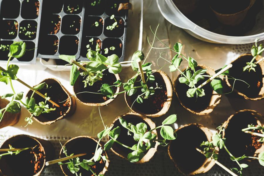 Sewing seeds and seedlings