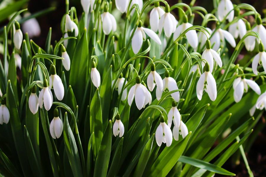 Snowdrops in a winter garden