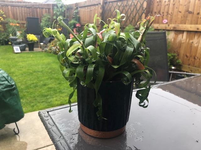 Houseplant outside in the July summer rain