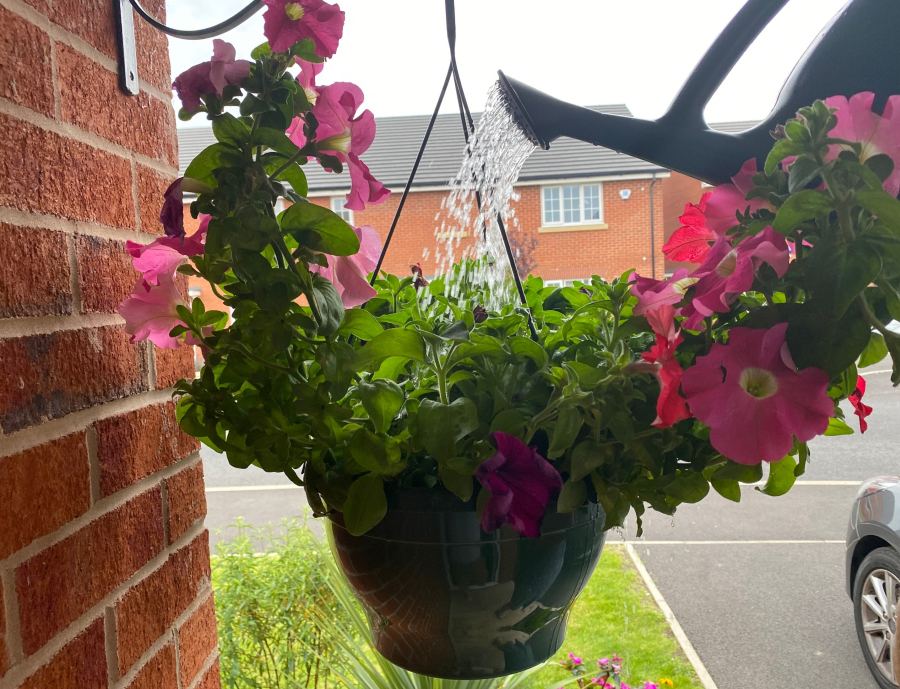 Hanging basket of petunias being watered with a watering can
