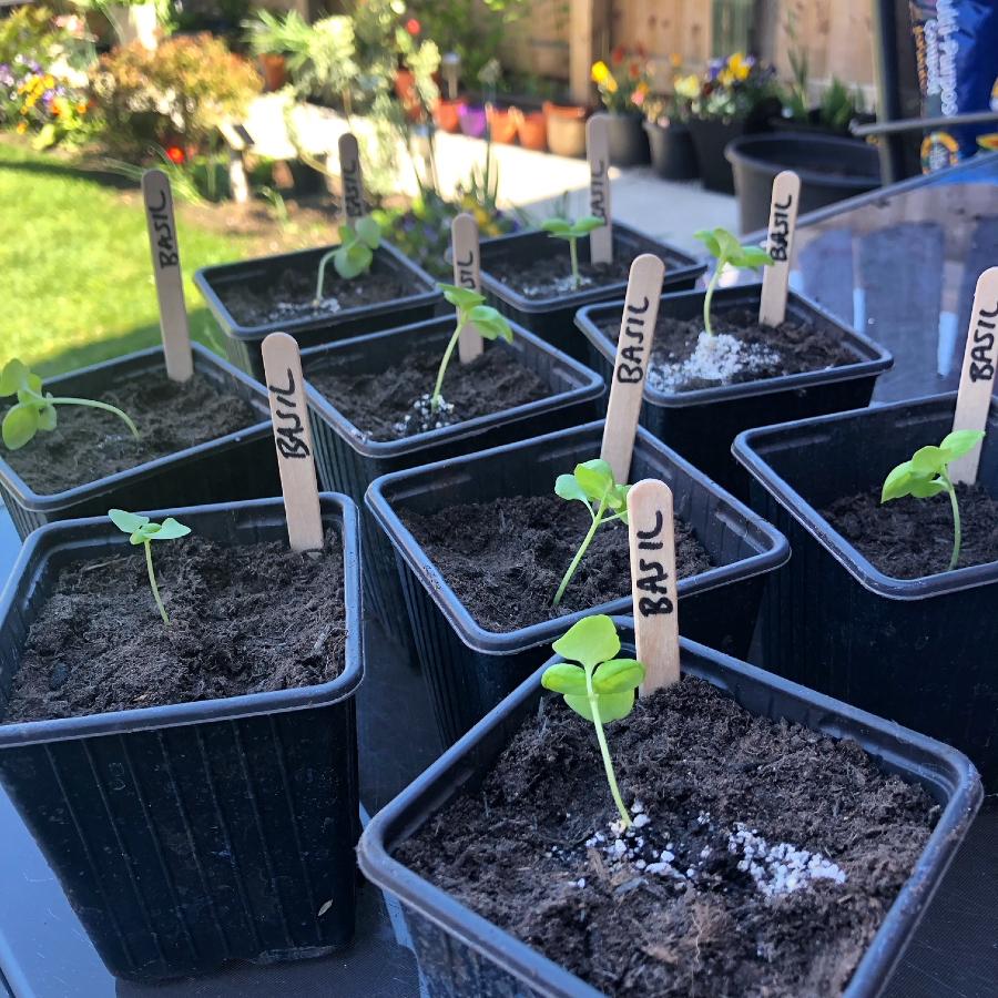 Basil seedlings in individual pots