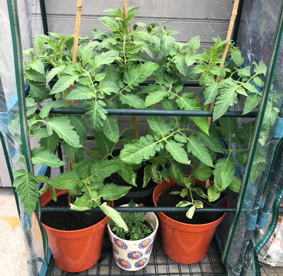 Tomato plants growing in a mini greenhouse