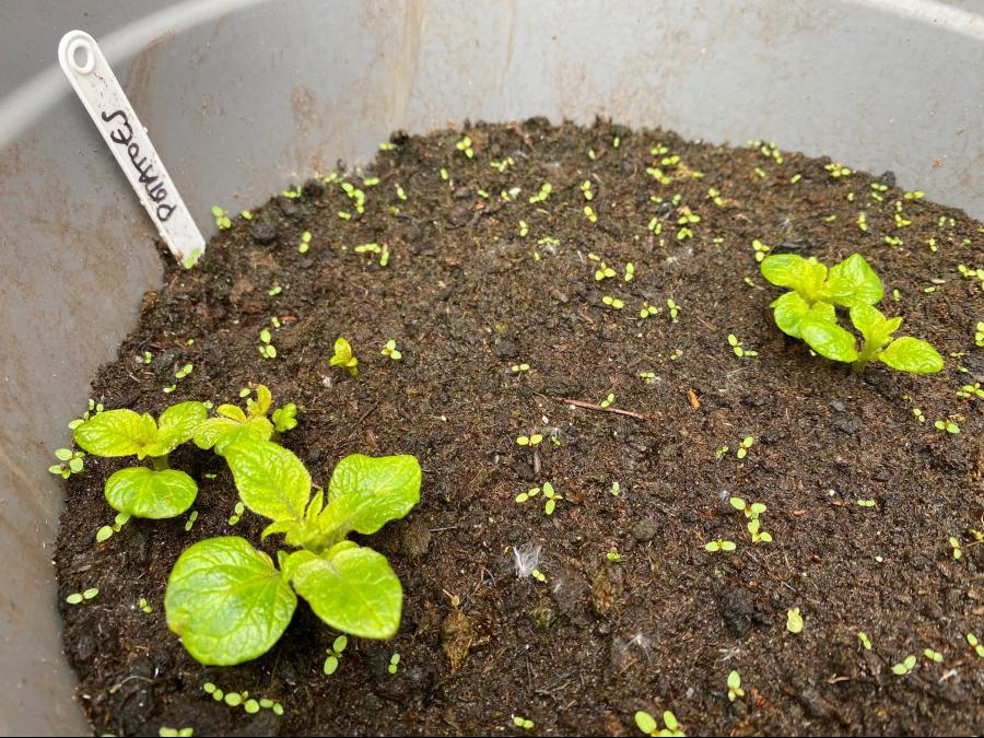 Potatoes in need of earthing