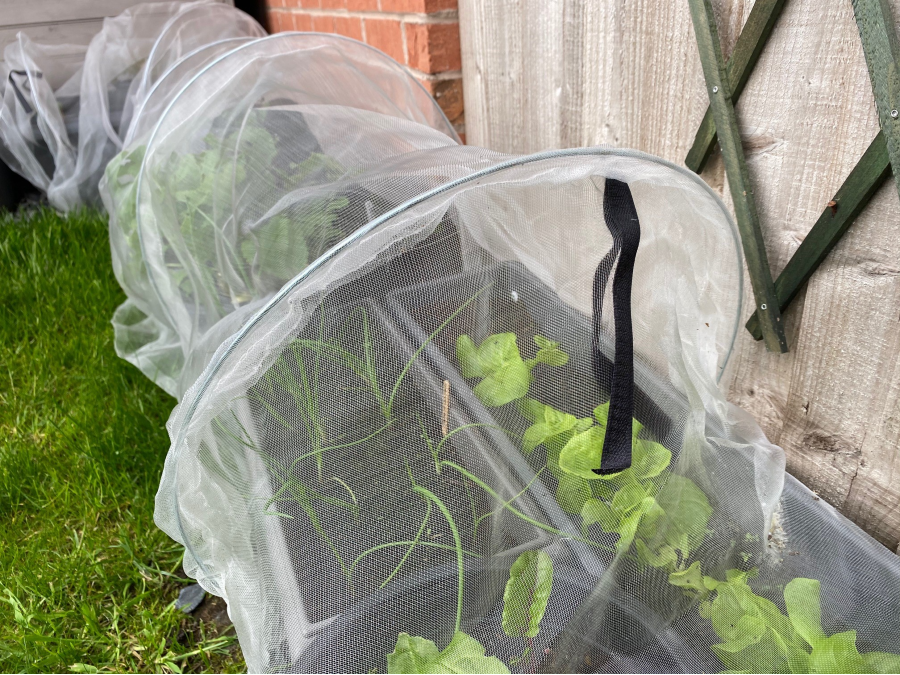 Netting tunnel protecting spring onions and lettuce in a container